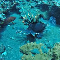 Feuerfisch,Bali, 2017, Tauchen, USS Liberty, Wrack, Coral Garden, Indonesien