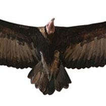 Alimoche sombrío juvenil (vuelo coronado)
