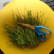 Harvested wheatgrass