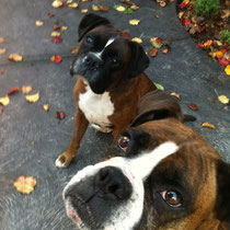 Excited Boxers Jimmy and Lily.