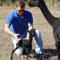 First steps for five minute old alpaca.