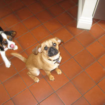 Naughty puppies Franklin and Audary are ready for lunch.