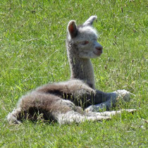 Moonshadow the baby alpaca.