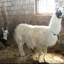 spuckende Lamas