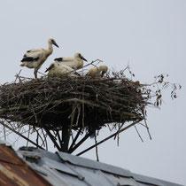 Störche auf den Dächern