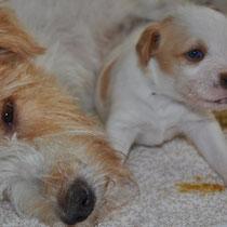 Mutter und Tochter - Effie hat uns heute alle sehr überrascht und schaut nun mit einem dunklen und einem blitzeblauen Auge in die Welt: ein ganz besonderer und sehr hübscher kleiner Hund :-).