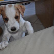 Einstein möchte so gerne auch aufs Sofa - er hatte aber keinen Erfolg, auch wenn er noch so treuherzig gucken kann :-)!