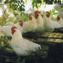 Bresse Hühner  sind in den französischen Nationalfarben gekleidet: blaue Beine, weisses Kleid und roter Kamm