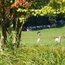 die Kühe meines Nachbarn - friedlich auf der Weide