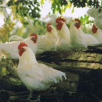Les poules de Bresse sont habillées des couleurs de la France : pattes bleues, plumage blanc, crête rouge