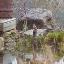 Der Eisvogel bedient sich im Teich