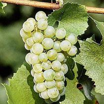 Bei Mâcon wird köstlicher Chardonnay angebaut