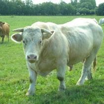 Das Charolais liefert das weltbekannte 1a Rindfleisch
