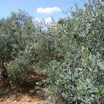 Ölbäume in Ramallah