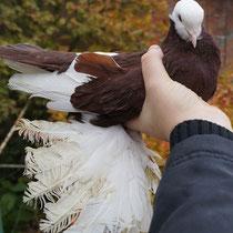 Армавирский белоголовый космач -  красный