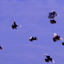 Полеты армавирских белоголовых бойных голубей