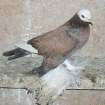 Армавирский белоголовый космач -  серый
