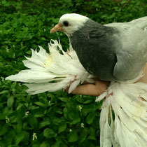 Кавказский белоголовый белохвостый  космач - сизый