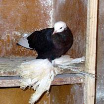 Армавирский белоголовый космач -  горелый