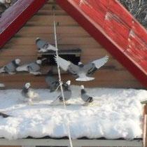 Кавкавказские бойные голуби зимой