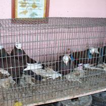 Армавирский белоголовый космач -  горелые