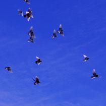Полеты кавказских белоголовых бойных голубей