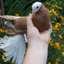 Армавирский белоголовый космач -  желтый