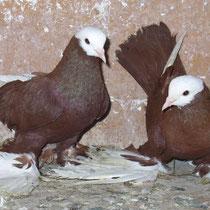 Армавирский белоголовый космач -  красные
