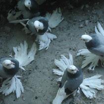 Кавказский белоголовый белохвостый  космач - сизые