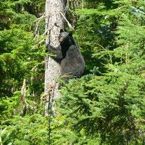 Schwarzbär auf der Bonney Lake Kanuroute