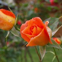 Impressionen aus dem Garten - Rose im Herbst