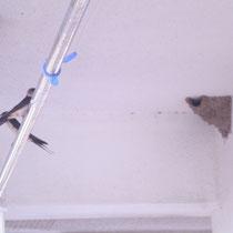 ベランダの角に、とっくりのような細長い巣を作っているのは、腰赤燕(こしあかつばめ)さん。
