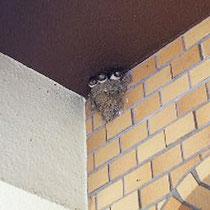 軒先には燕。お椀のような巣で、子燕が見えます。丸顔ですね。