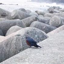 端っこが好きみたいで、海岸の岩でもまん中にはいません。