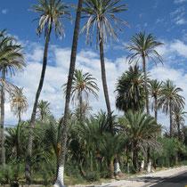 Palmenoase in San Ignacio