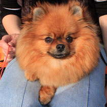 Miniature German Pomeranian Spitz