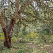 Korkeichenwälder