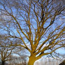 Chêne d'Amérique de plus de 150 ans répertorié comme Arbre Remarquable