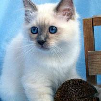 Birmakatze, blue-point, 9 Wochen alt