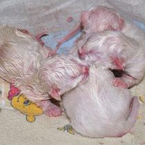 Birmakatzen - direkt nach der Geburt