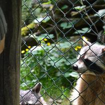 Waschbär im Opel-Zoo