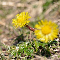 En chemin on peut observer de nombreuses fleurs,ici le Tussilage.