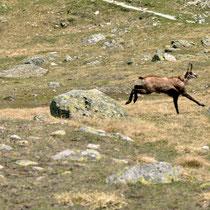 Vous aurez peut-être la chance de croiser des chamois très nombreux dans le vallon