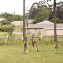 Zwei kämpfende Kängurus auf dem Grundsütkck neben unserem