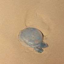 ob das wohl die giftigste Qualle hier ist? Ich meine sie müsste kleiner und hellblau sein.. aber der wollen wir ja auch nicht begegnen..