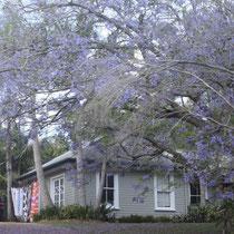unser Nachbar von gegenüber.. Die Jacarandas blühen nur noch bis diese Woche und sehen so toll aus!