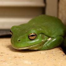 Ein Frosch bei uns am Haus
