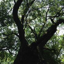 付近の散策に出発。太古の昔から生き続ける古木がいたるところに。