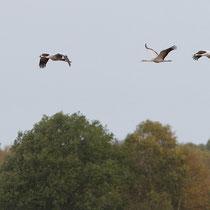 Morgendlicher Abflug der Kraniche, in der Mitte ein Jungvogel