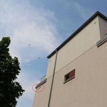 Dieser aufwachsende Ahorn könnte in einigen Jahren den Mauerseglern den Zugang zu ihren Nestern an der Ritterstraße versperren.